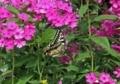 アゲハ蝶の舞い9