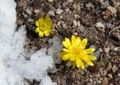 福寿草のそばに雪を置いて