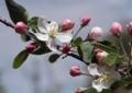 リンゴの花2