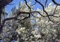 エゾノコリンゴの花4