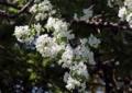 エゾノコリンゴの花2