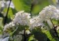 エゾノコリンゴの花1