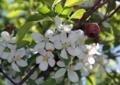 冬を越した姫リンゴ