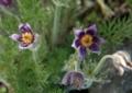 北海道5月下旬の花6