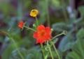北海道5月下旬の花4