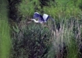 逃げるアオサギ2