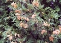 ニオイヒバの花粉