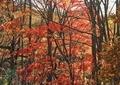 庭の紅葉6