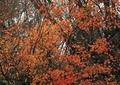 庭の紅葉9