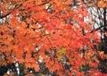 庭の紅葉10