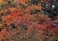 庭の紅葉12