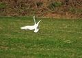 ダイサギ着陸失敗1