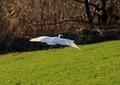ダイサギ着陸5