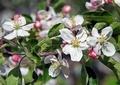 リンゴの花4
