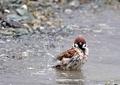 スズメの水遊び14