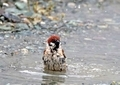 スズメの水遊び13