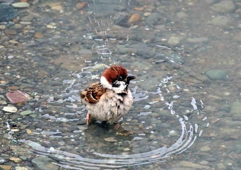 スズメの水遊び11