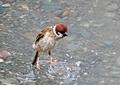 スズメの水遊び10