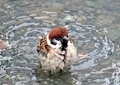 スズメの水遊び9