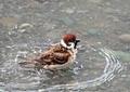 スズメの水遊び8