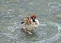 スズメの水遊び6