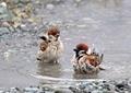 スズメの水遊び5