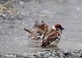 スズメの水遊び2