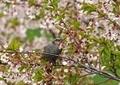 桜とヒヨドリ11