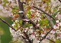 桜とヒヨドリ9