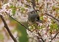 桜とヒヨドリ8