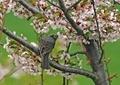 桜とヒヨドリ6