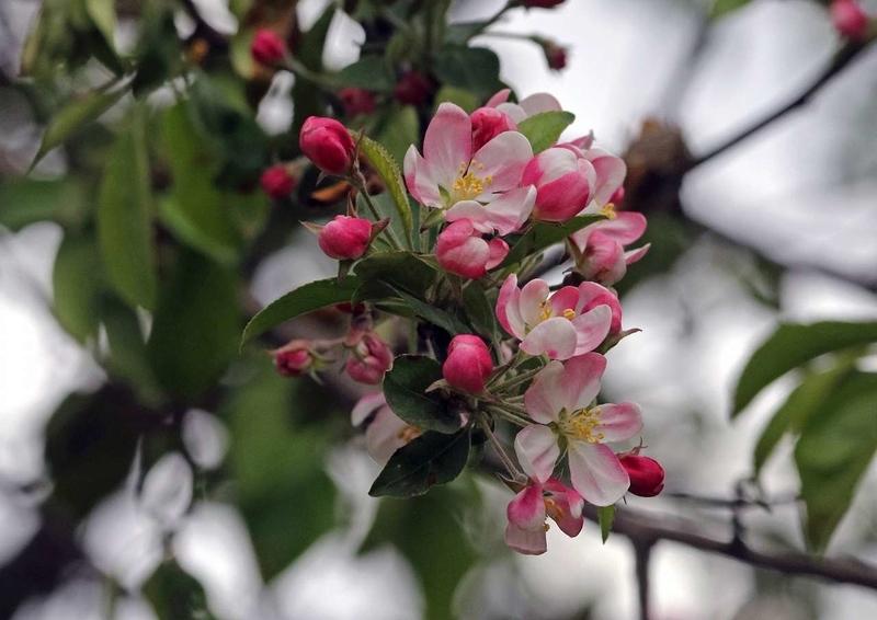 エゾノコリンゴ6