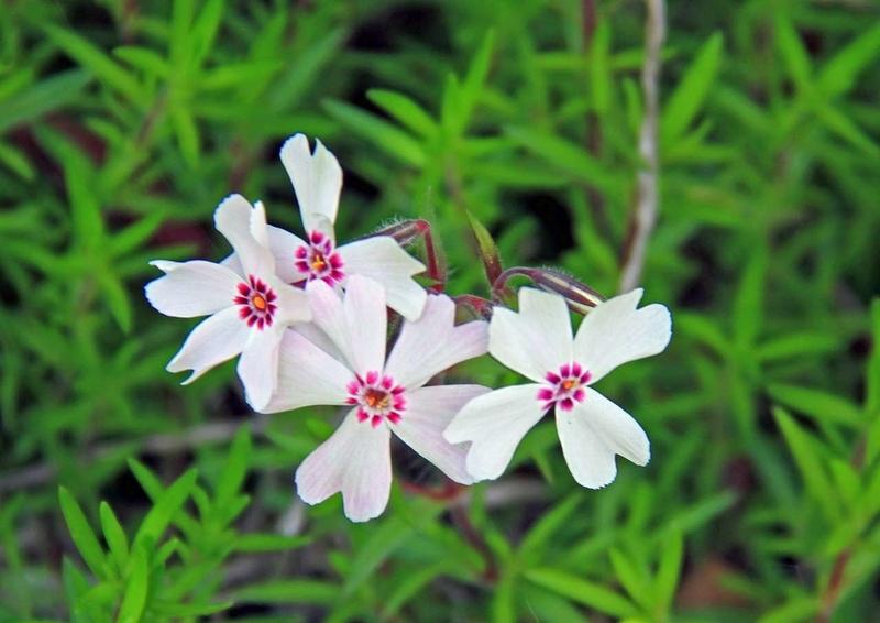 小さい花6ナデシコ