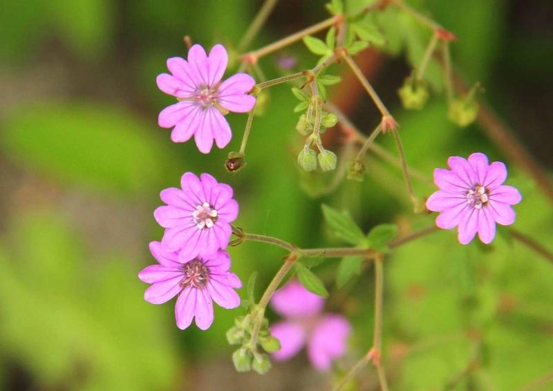 小さい花3フウロ草