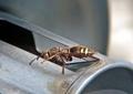 ヒメスズメバチ1