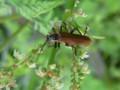 [甲虫ジョウカイ][110518][木下沢林道]ジョウカイボン