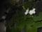 夕顔(夜やっと開花を見つけた)