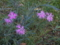 11月29日 まだカワラナデシコが咲いている (伊丹 猪名川)