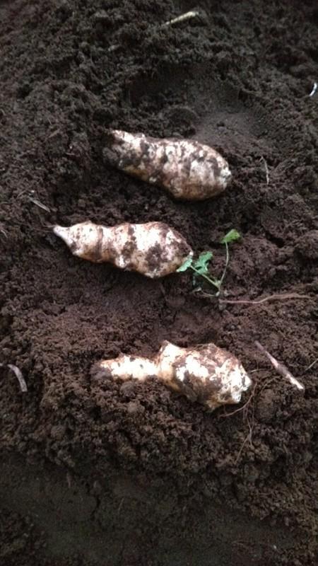 掘った菊芋の例
