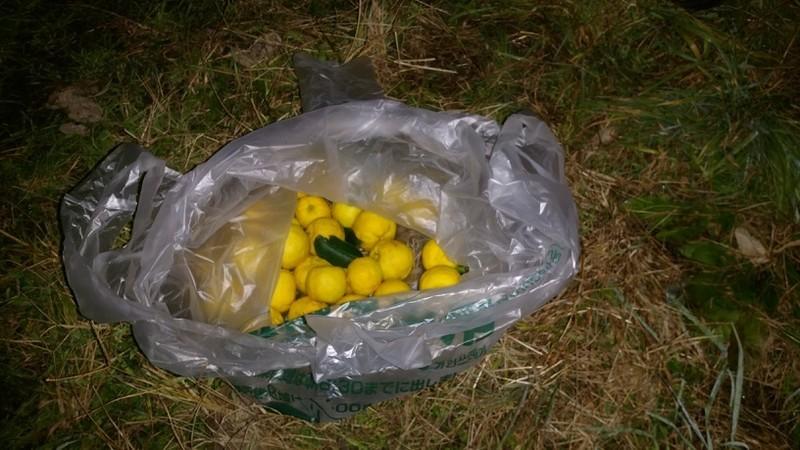 ゆずの収穫量、ゴミ袋底に、2段目ができないくらい