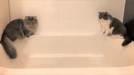 風呂に乗る猫
