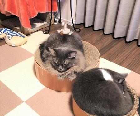 猫炬燵じゃなく爪とぎで寝る猫