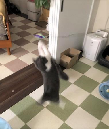 猫じゃらしに向かって飛ぶ猫