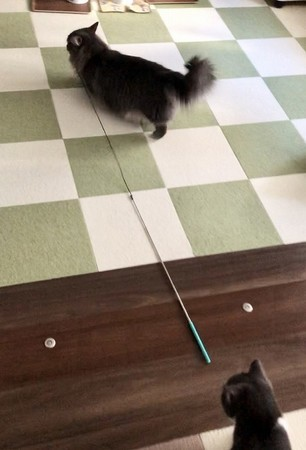 猫じゃらしを引っ張る猫