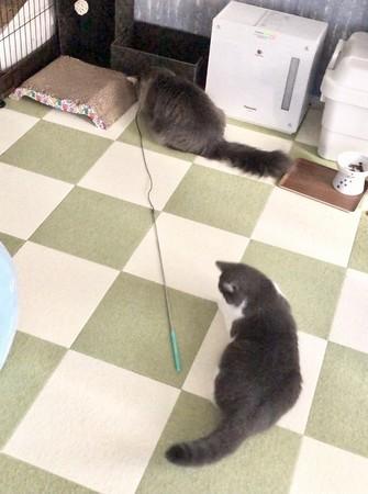 猫じゃらしを持ち帰る猫