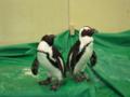 ペンギン 長戸千晶撮影