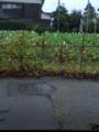 スーパードライ畑