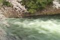 京都新聞写真コンテスト「疎水の流れと桜」