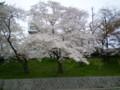 2009年 岡崎公園/おしろの にしがわ、菅生川支川 右岸の どての さくら