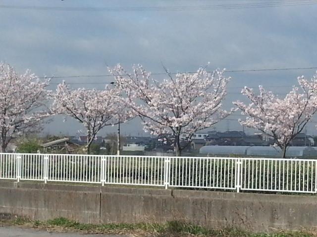 20140403 08.04.48 あんくるバス桜井線バス - 明治用水ぞいのさくらなみき